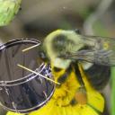 Clickbeetle - Drumblebee 5
